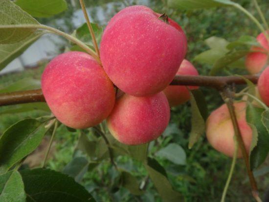 Яблоки сорта Красноярское сладкое