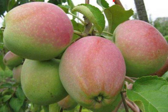 Яблоки сорта Хакасский синап