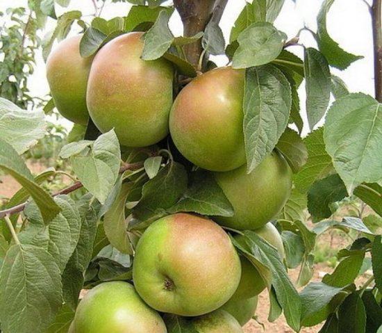 Яблоня Вербное
