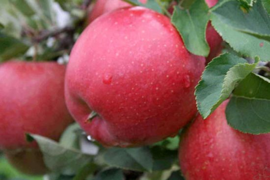Яблоки сорта Чемпион