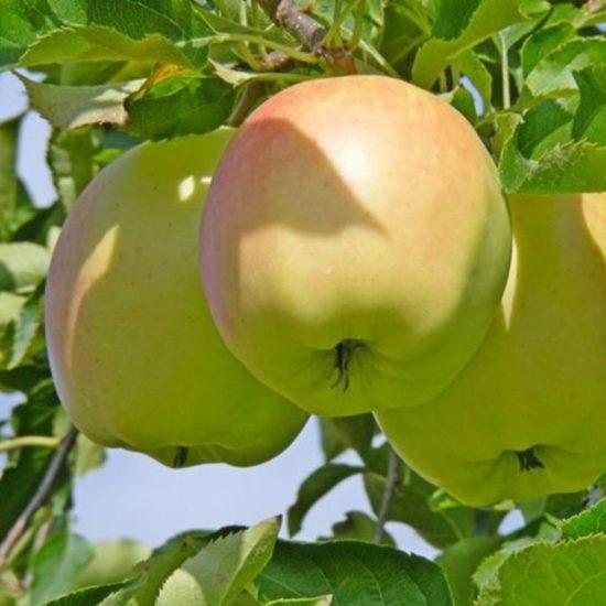 Яблоки сорта Пепинка золотистая