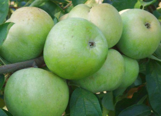 Яблоки сорта Ренет Симиренко