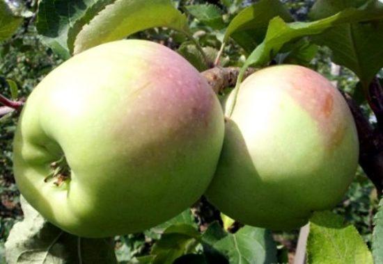 Плоды яблони Синап Орловский