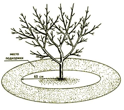 Внесение удобрений под яблоню