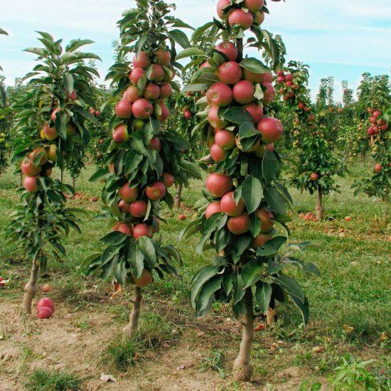 Ленточная схема выращивания колонновидных яблонь