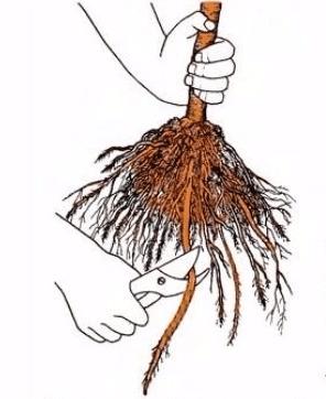 Подрезка корней саженца