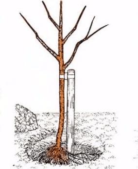 Установка саженца и опоры в яме