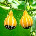 Грушевидные декоративные тыквы