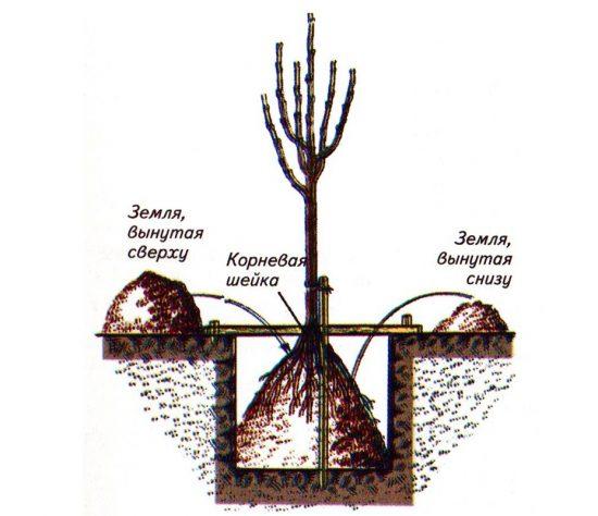 Схема создания посадочной ямы для яблони
