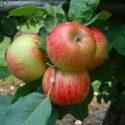 Сорт яблони Пирья