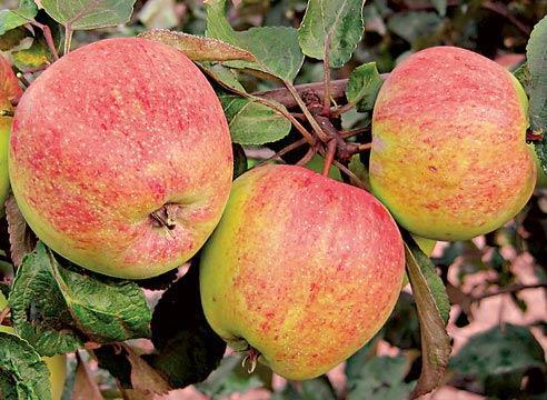 Яблоня сорта Осенняя Сусова