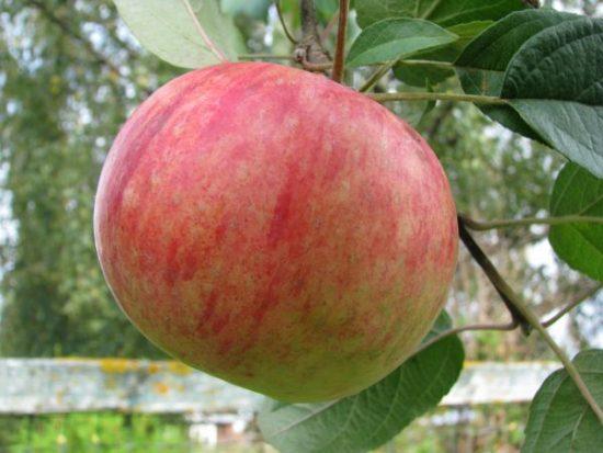 Яблоня сорта Гордеевское