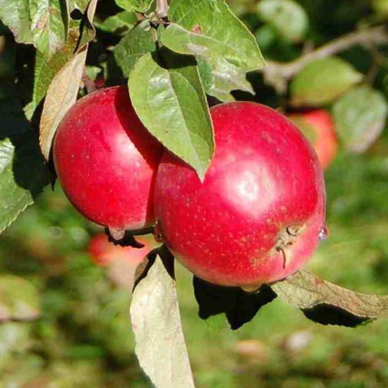 Яблоки сорта Анис алый