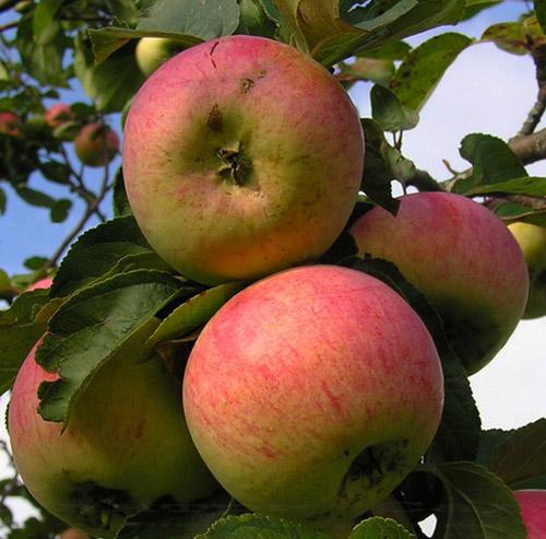 Яблоня сорта Анис полосатый