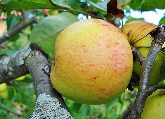 Яблоня сорта Избранница