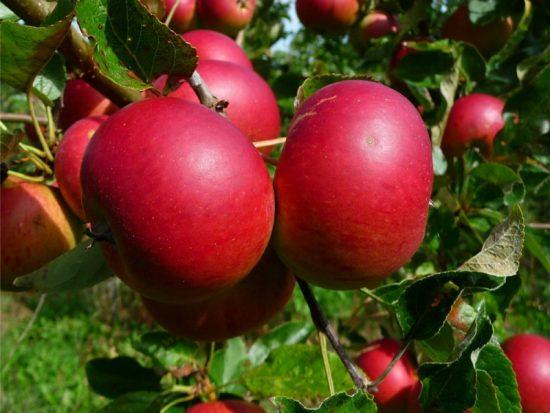 Яблоня сорта Услада