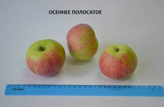 Яблоня сорта Осеннее полосатое