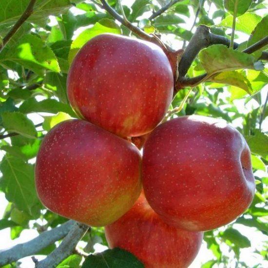 Яблоня сорта Джонаголд