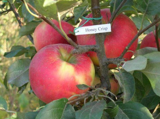 Яблоня сорта Хонейкрисп
