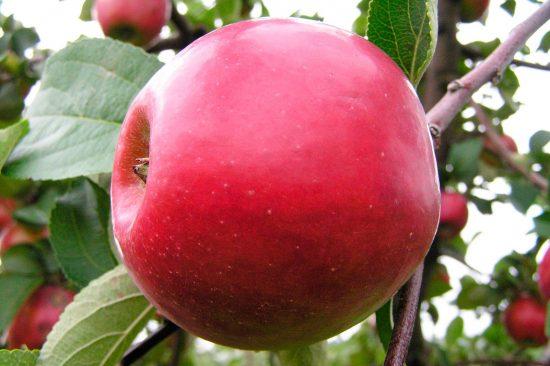 Яблоня сорта Память Жаворонкова