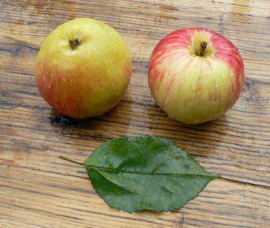 Яблоня сорта Бузовьязовское