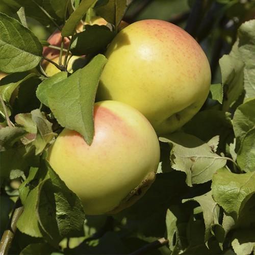 Яблоня сорта Детское