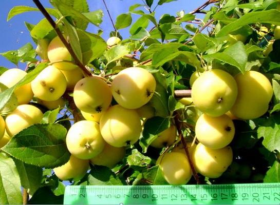 Яблоня сорта Уральское наливное