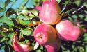 Яблоня сорта Кандиль-Орловский