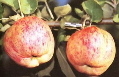 Сорт Яблочный спас