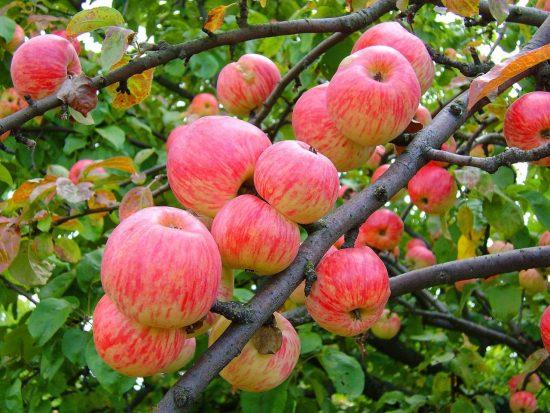 Яблоки сорта Орлик на ветке