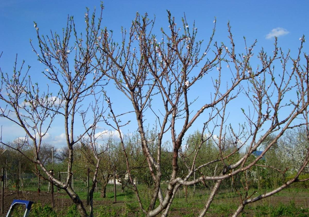 Осенняя обрезка молодых яблонь