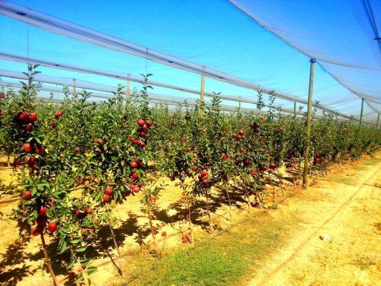 Карликовый яблоневый сад