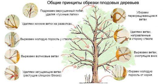 Общая схема обрезки плодового дерева
