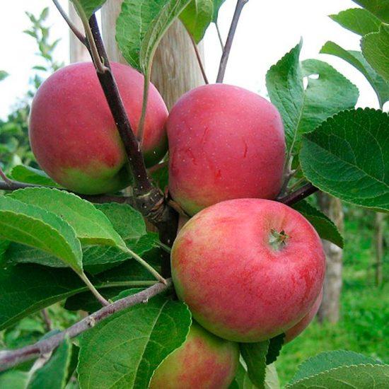 Яблоки сорта Елена