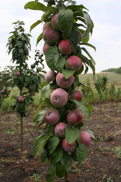 Молодая яблоня сорта Триумф