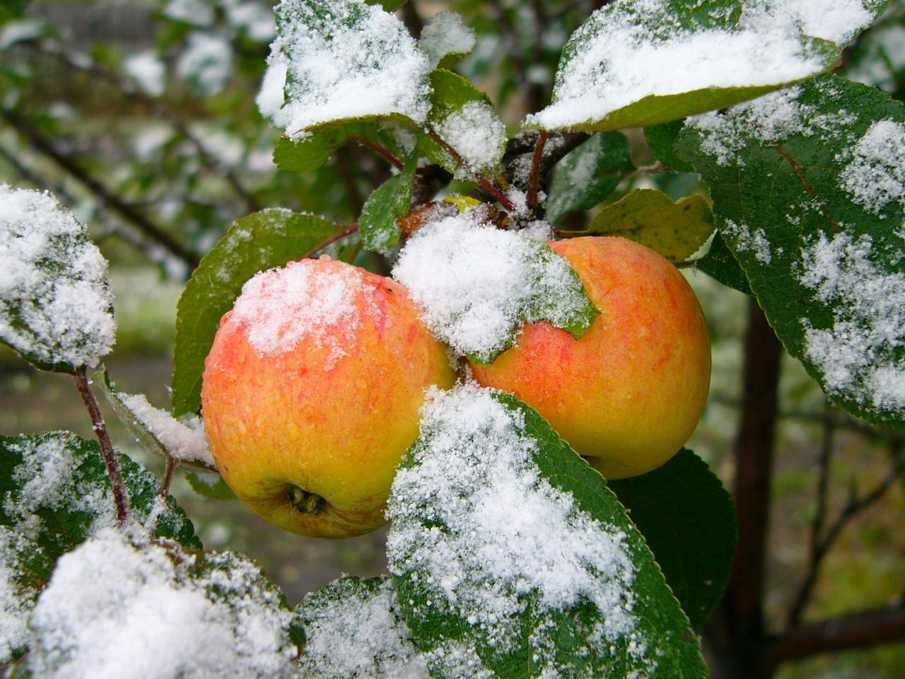 Зимние сорта яблонь с длительным сроком хранения плодов