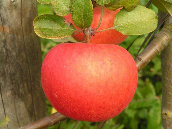 Яблоня сорта Михайловская