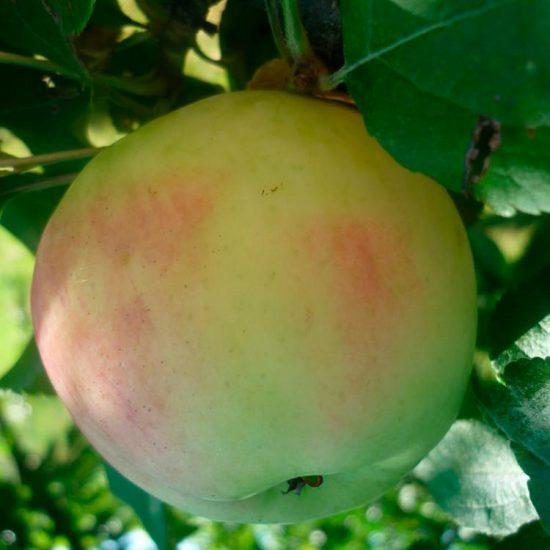 Сорт яблок Московское позднее