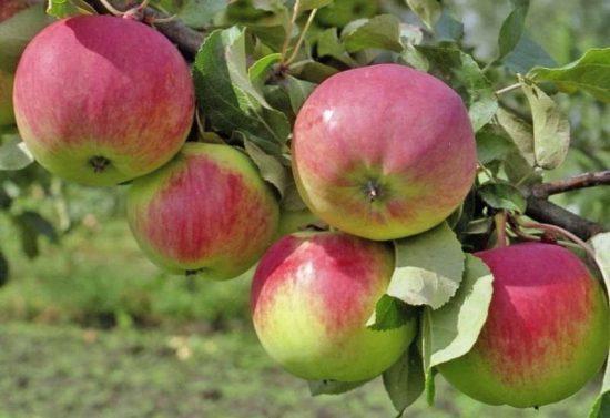 Яблоки сорта Свежесть