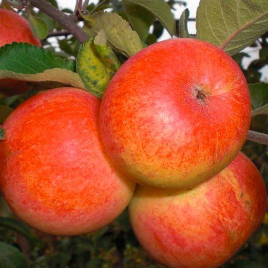 Яблочки Солнышко