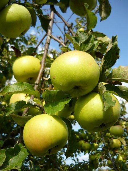 Яблоки сорта Богатырь