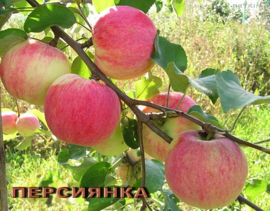 Яблоки Персиянки
