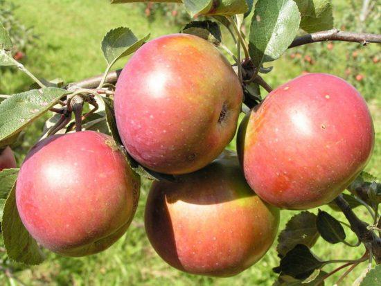 Яблочки Весялины