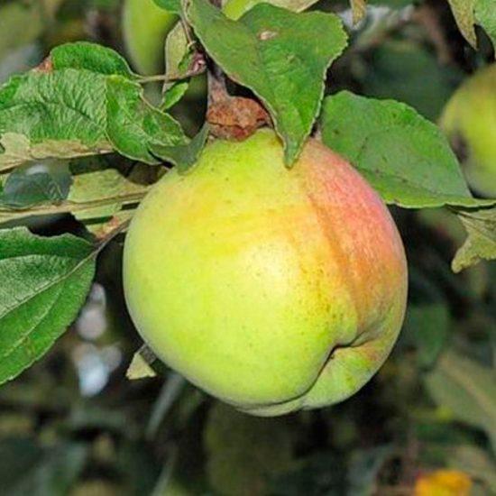 Яблочки Белорусского синапа