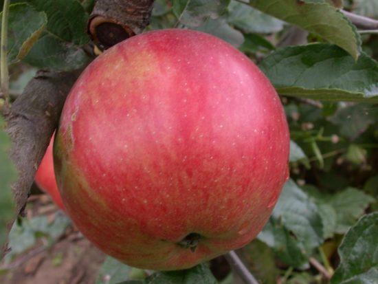 Яблочки Айдаред