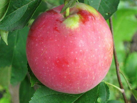 Яблоки сорта Флориана