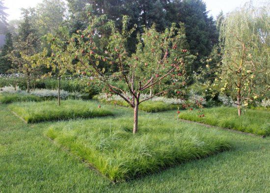 Задернение приствольного круга яблони