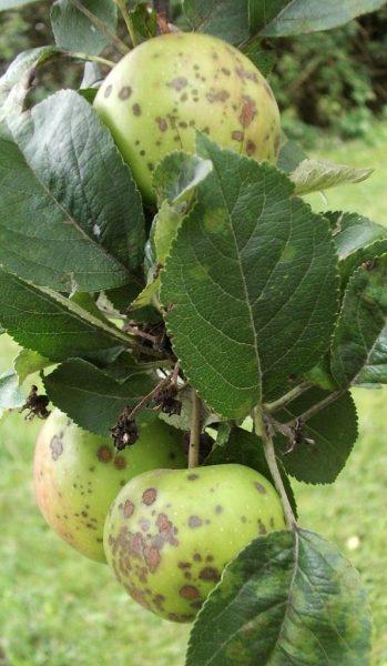 Ветка яблони, заражённая паршой