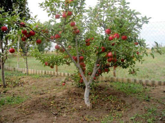 Низкорослая яблоня
