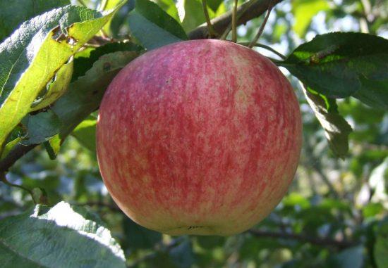 Яблоня сорта Слава переможцам